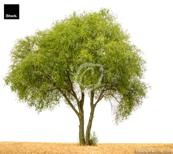 Crack willow or Salix fragilis along field isolated on white.