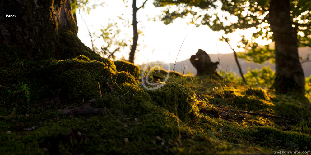 Close-up of moss-covered tree trunk and roots at warm summer-sunset.