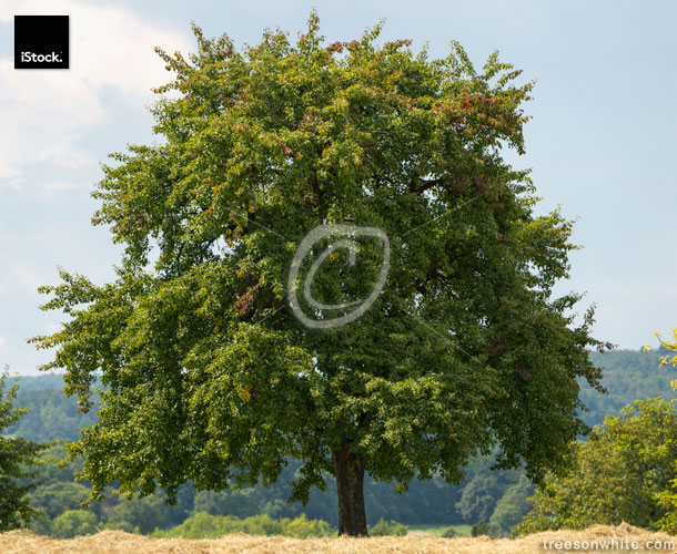 Large old pear tree stands along a harvested hay-field.
