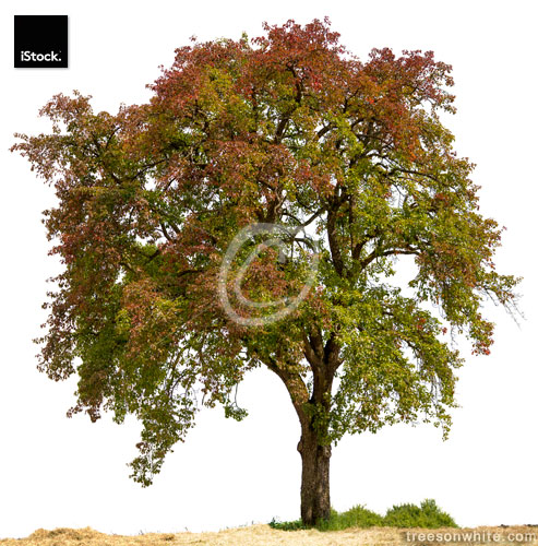 Colorful Pear Tree or Pyrus communis isolated on white.