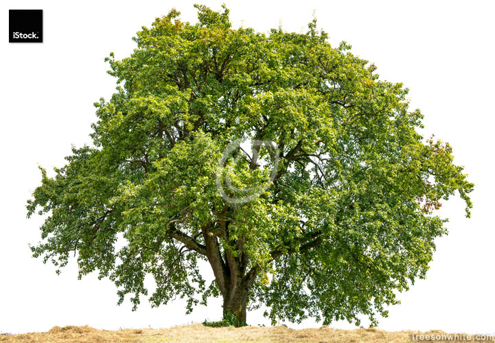 Old large Pear Tree or Pyrus communis isolated on white.