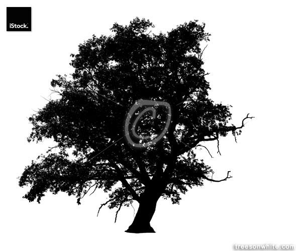 English Oak Tree Silhouette (Quercus robur) /isolated on white.