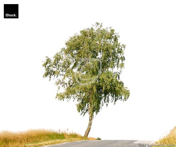 Birch tree (Betula pendula) along street isolated on white.