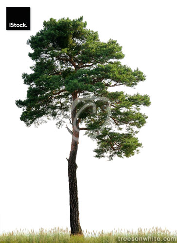 Scots Pine (Pinus sylvestris) on meadow isolated o_n white.