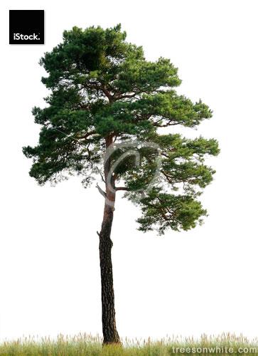 Scots Pine (Pinus sylvestris) on meadow isolated o_n white.