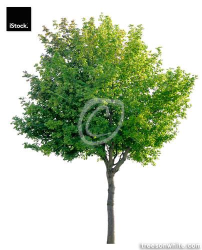 Norway Maple (Acer platanoides) isolated on white.
