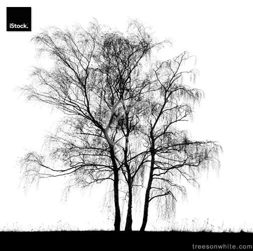 Black Birch (Betula pendula) tree on hill isolated on white.