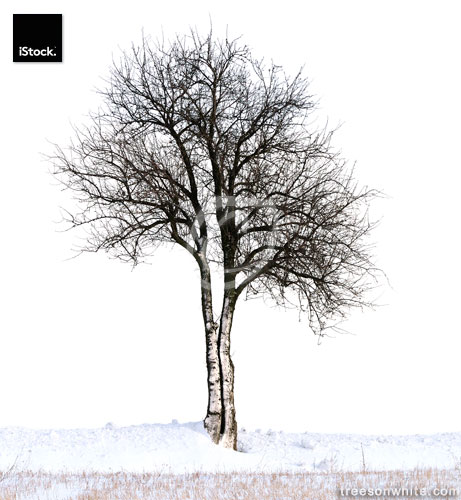 Pear tree (Pyrus communis) in winter isolated on white.