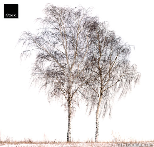 Birch tree (Betula pendula) in winter isolated on white.