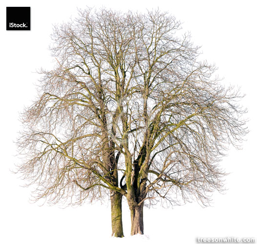 Chestnut trees (Aesculus hippocastanum) in winter isolated on white.