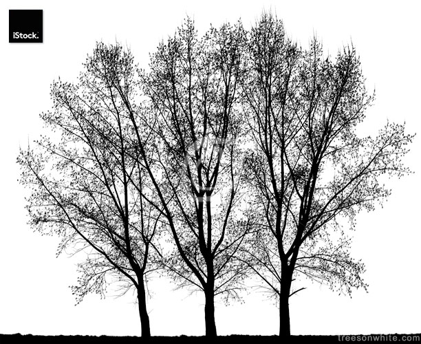 Group of Hybrid Black Poplar (Populus x canadensis) isolated on White.