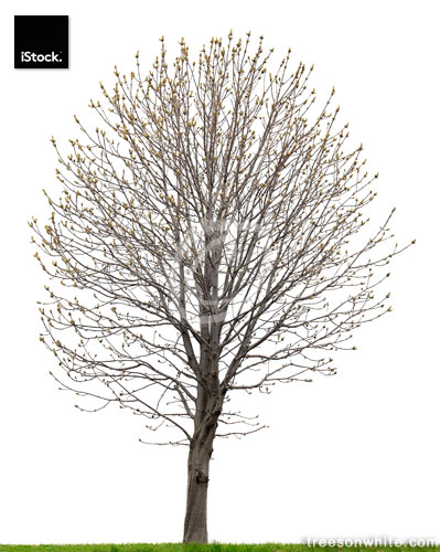 Chestnut tree (Aesculus hippocastanum) in spring isolated on whi