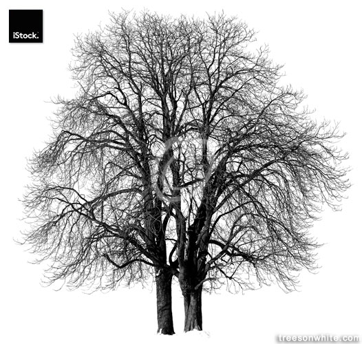 Chestnut trees (Aesculus hippocastanum) in winter isolated/black