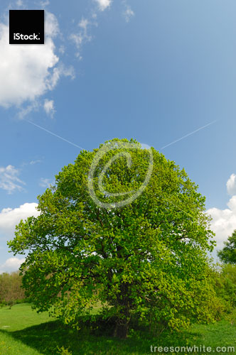 Old oak tree in spring on vibrant meadow.