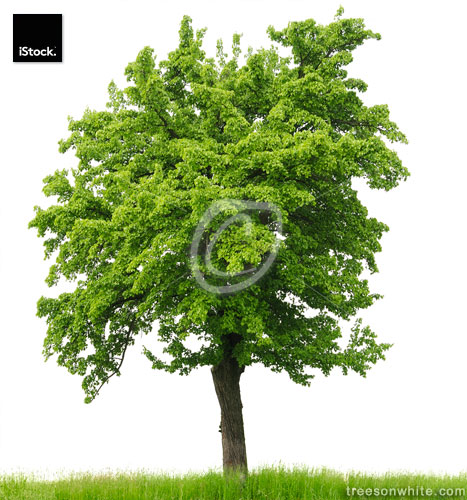 Pear tree (Pyrus communis) in spring isolated on white.