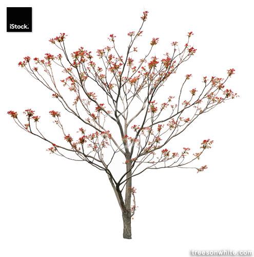 Small English walnut (Juglans regia) isolated on white in spring