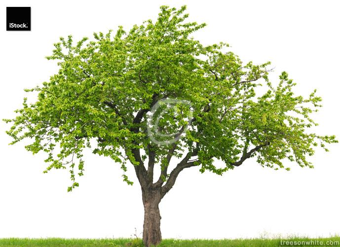 Cherry tree (Prunus avium) on grass field isolated on white.