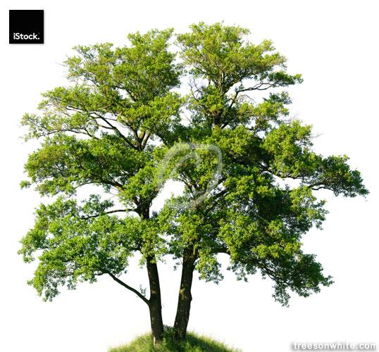 Old Alder Tree isolated on white (Alnus glutinosa), huge resolut