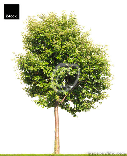 Swedish Whitebeam tree isolated on white (Sorbus intermedia).