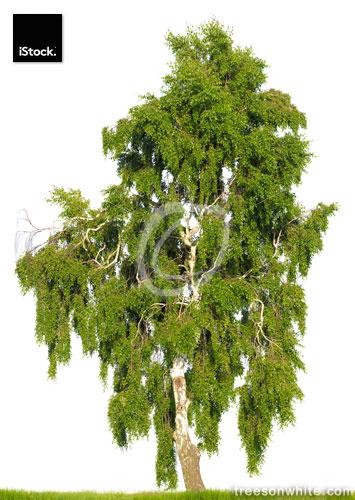 Birch tree (Betula pendula) isolated on white. Huge resolution.