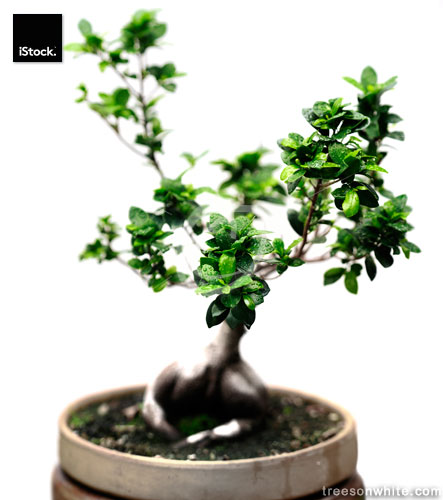 Ficus ginseng bonsai tree isolated on white with water drops.