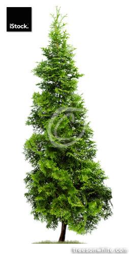Cypress: Eastern Arborvitae (Thuja occidentalis 'Fastigiata') isolated on white.