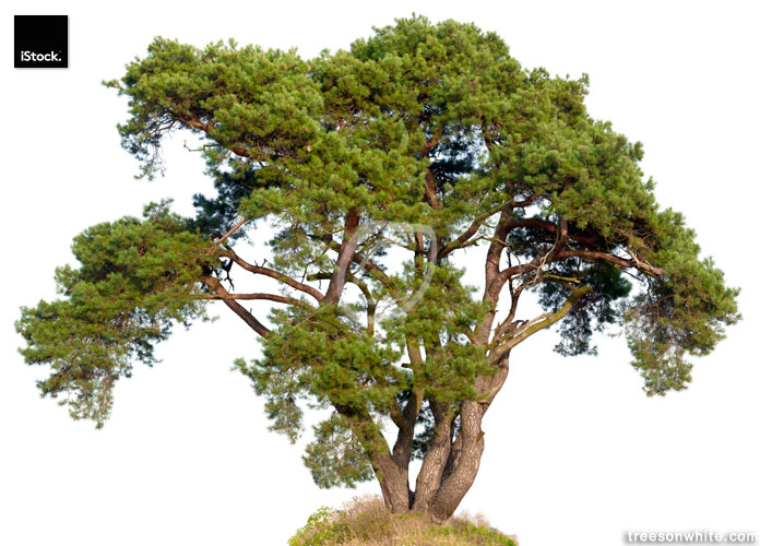 Old Scots Pine (Pinus sylvestris)  isolated on white.