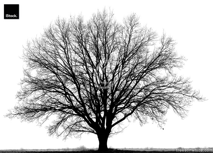 Oak tree (Quercus petraea) in winter isolated/black and white .