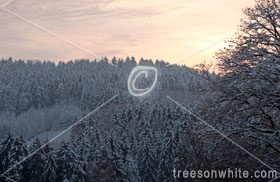 Spruce wood in Germany covered with first snow in_winter.