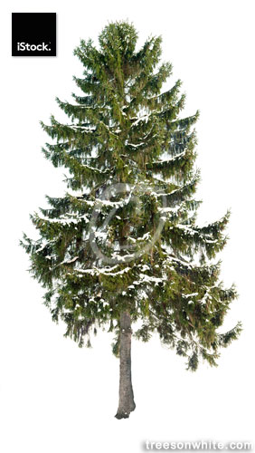 Spruce (Picea abies) in winter isolated on white with snow.
