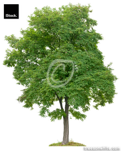 Black Locust tree (Robinia pseudoacacia) isolated on white.
