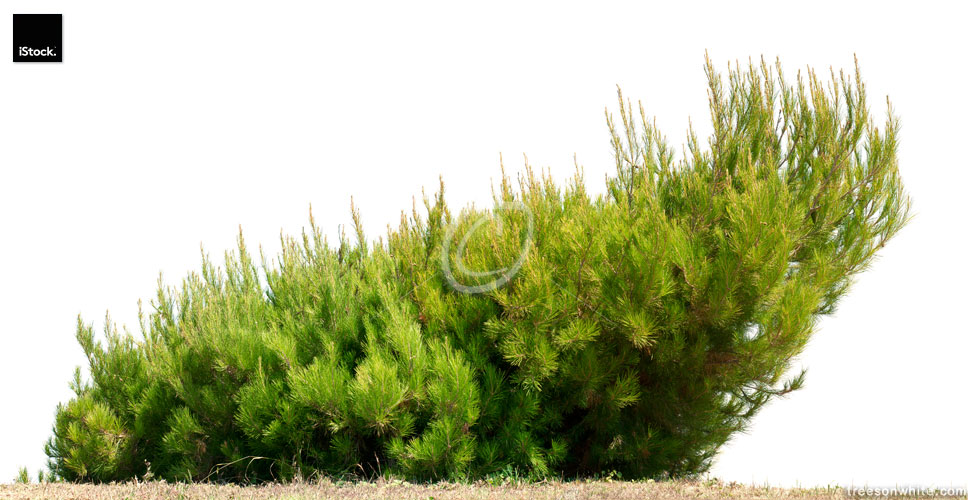 Dwarf Pine  (Pinus pumila)  isolated on white.