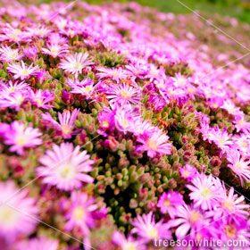 Pink Iceplant (Delosperma spec.) flower close-up.
