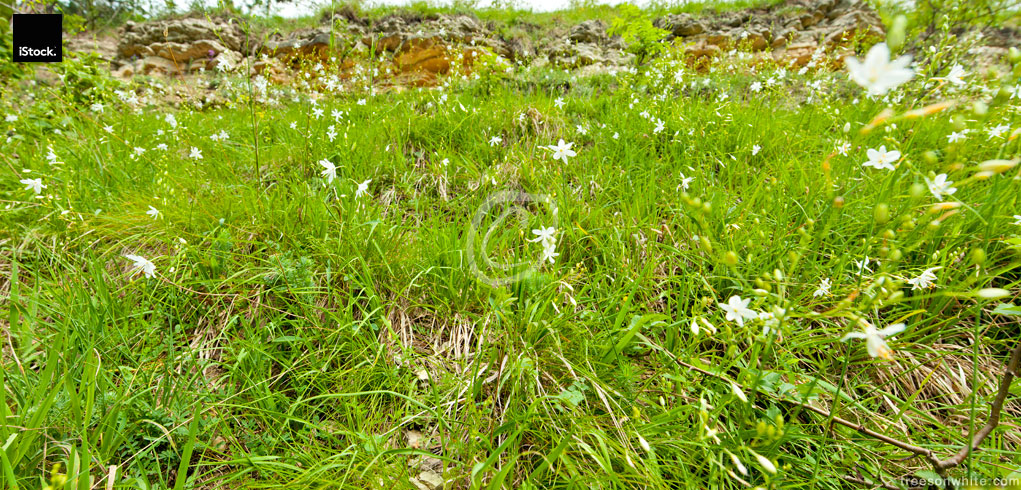 Wideangle meadow close-up with lots of white Lilyflowers (Anther