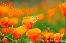 California Poppy Close-up.
