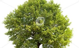 English Oak (Quercus robur) in summer isolated on white.