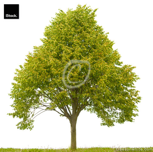 Lime tree (Tilia cordata) with fruits isolated on white.