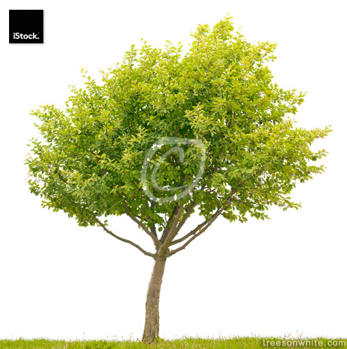 Small Common Whitebeam Tree (Sorbus aria) isolated on white.