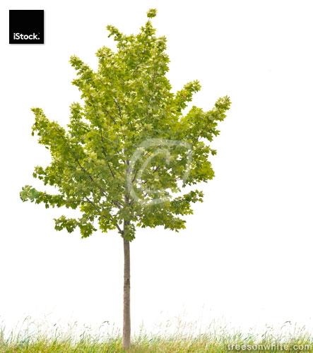 Small Sycamore Maple (Acer pseudoplatanus) isolated on white.