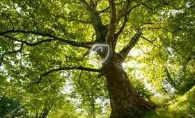 Plane tree on summer morning, wide-angle-panoramic (frog's eye view/ fisheye).