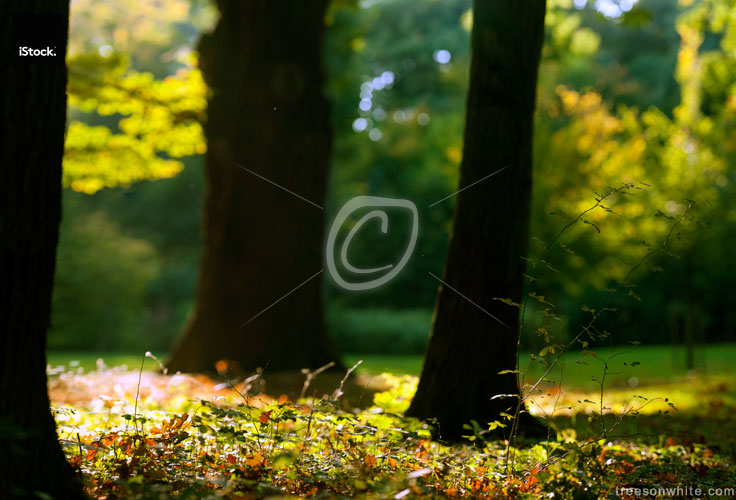 In The Woods: autumn leafs, dark trunks and sunrays panoramic-im