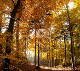 Vibrant Yellow Beech Forest in Autumn with Sunrays breaking through.