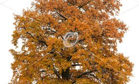 Large English Oak (Quercus robur) in Autumn isolated on white.