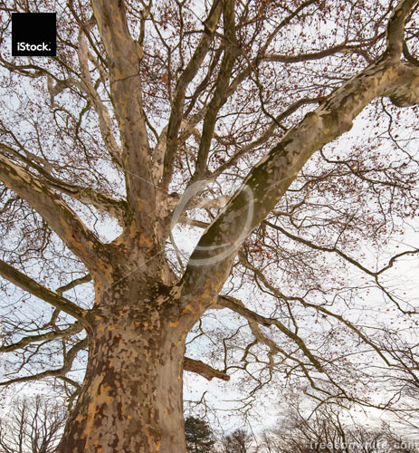 Old Plane tree on winter morning (frog's eye view/ low-angle).