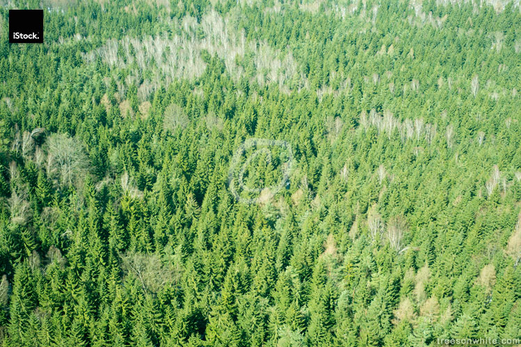 Pine forest in winter from above, some beech trees inbetween.