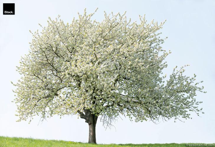 Cherry Tree (Prunus avium) in Full Bloom on Meadow.