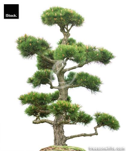 Bonsai conifer (Ponderosa Pine, Pinus ponderosa) isolated on white