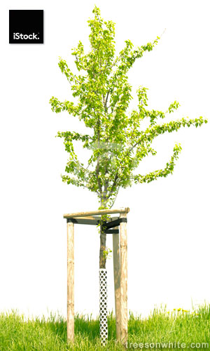 Small pear tree with wooden support stakes isolated on white.
