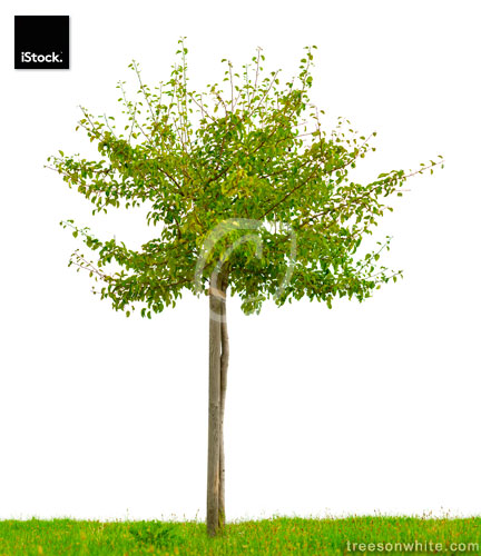 Small, staked fruit tree with green grass isolated on white.