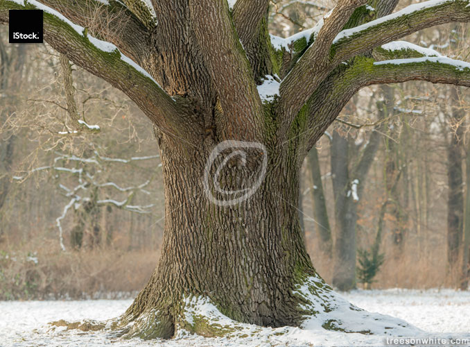 Oak trunk in winter with snow on branches.